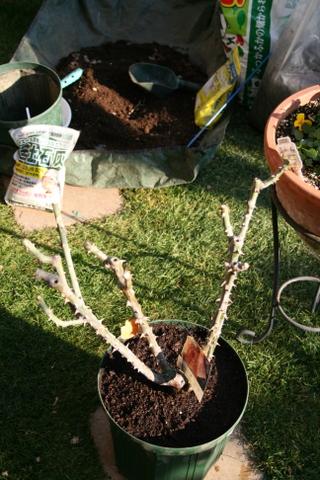鉢に植え付けたダイアナ・プリンセスオブウェールズ