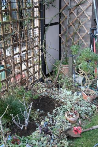 パットオースチン、庭へ植え付け完了