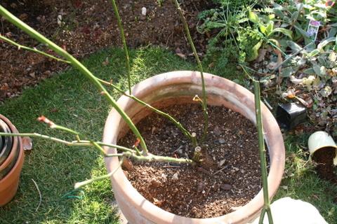 茎が折れたつるマジックカルーセル