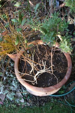 スモークツリーの寄せ植え