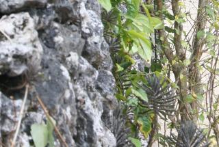 石垣の奇妙な植物