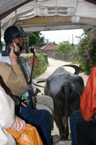 水牛車で町並み巡り2
