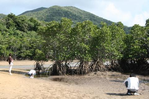 吹通川のマングローブ林