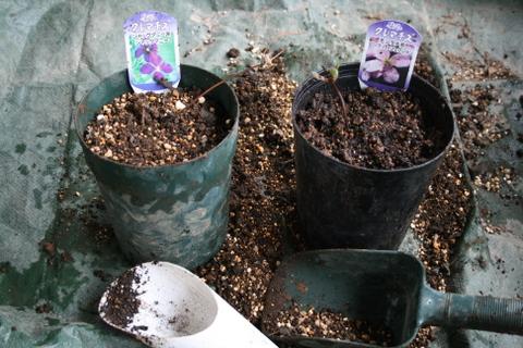 クレマチスの鉢植え作業