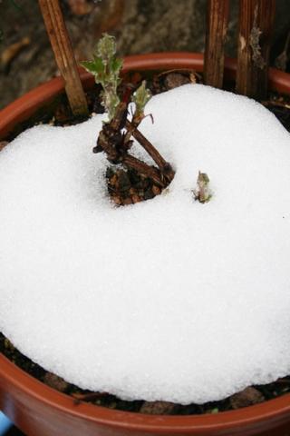 雪の中のクレマチス・フルディーン