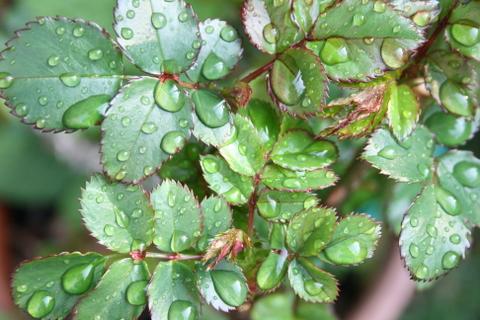 雨に濡れたバラの葉(黒蝶)