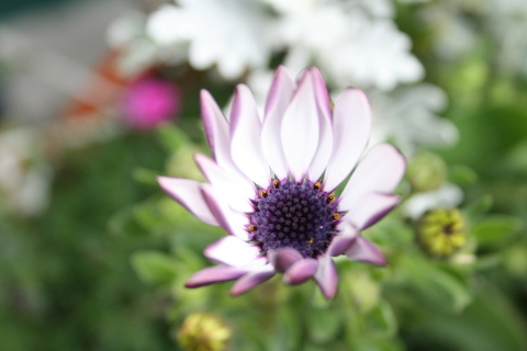 オステオスペルマム開花