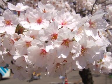 桜0417か
