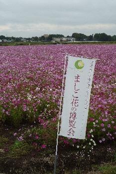 コスモス畑!!