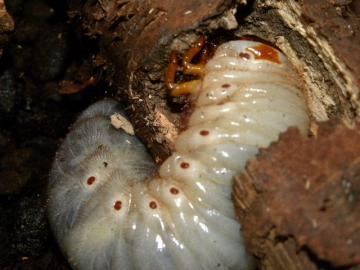 カブトムシの幼虫