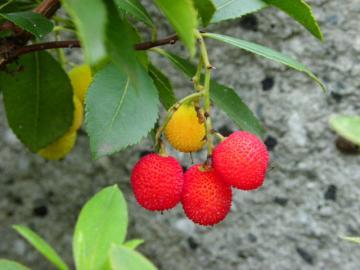 ヒメイチゴの果実