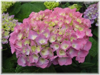 2011年6月1日紫陽花