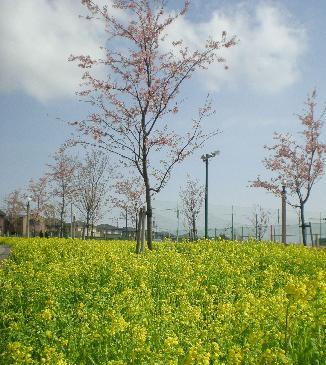 春!菜の花と桜