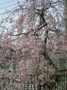 田上公民館桜
