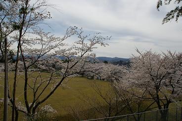 若松にある企業局の水道桜・・・