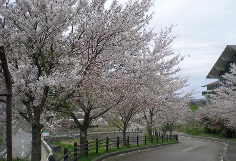 サーカス元気桜