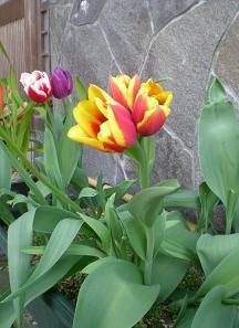 わが家で一本に3個の花が咲きました。