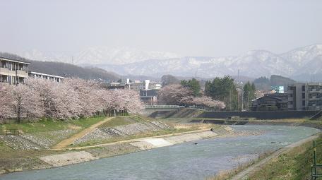 新桜の名所は、元気に頑張れと満開近くなりました。