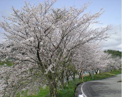 田上本町朝霧桜②