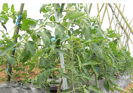 b-tomato-1.jpg