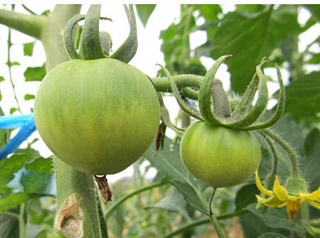 b-tomato-2.jpg