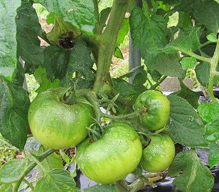 c-tomato-1.jpg