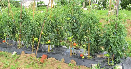 c-tomato-5.jpg