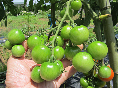 c-tomato-6.jpg