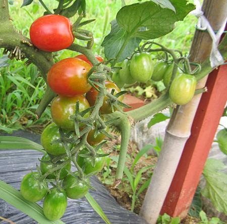 c-tomato-7.jpg