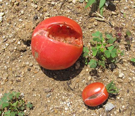 c-tomato-8.jpg