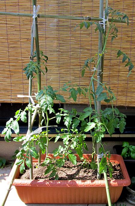 d-tomato-1.jpg