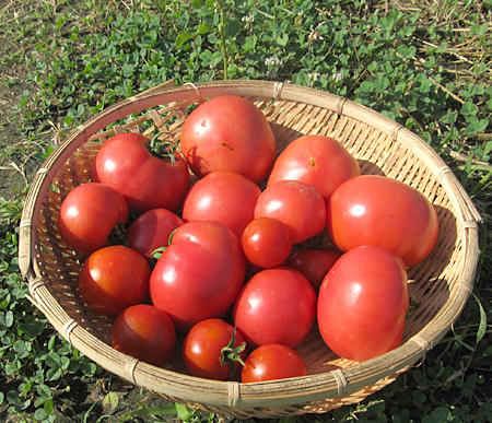 d-tomato-2.jpg