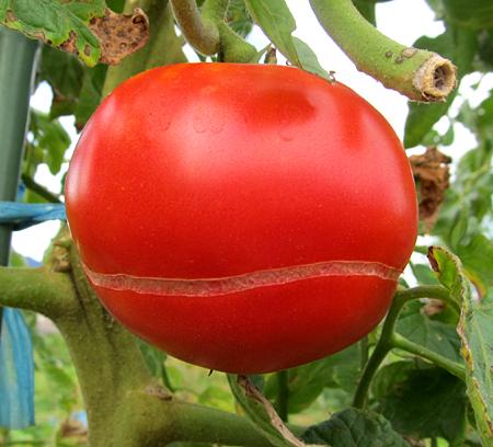 e-tomato-1.jpg