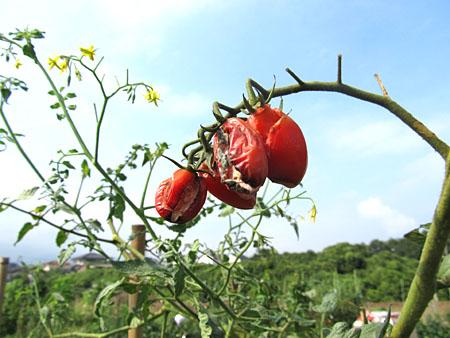 e-tomato-3.jpg