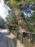 100314楠木の生命力2