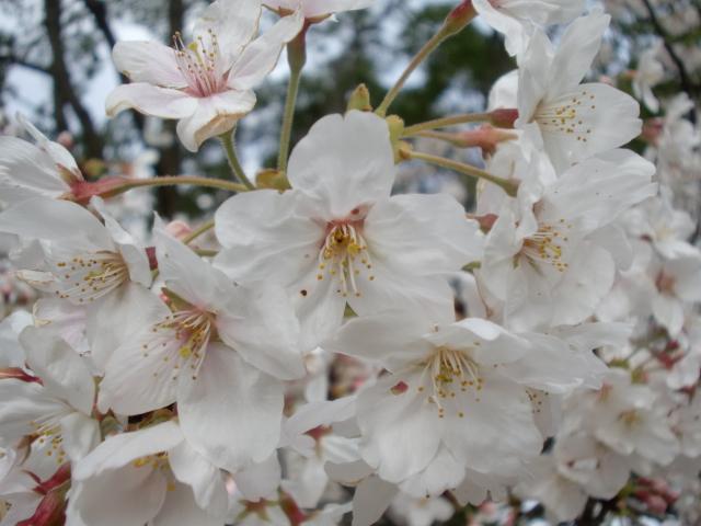 100320大濠公園桜スケッチ 031