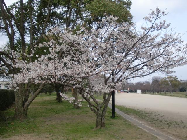 100320大濠公園桜スケッチ 029