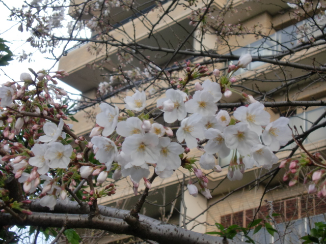100320大濠公園桜スケッチ 001