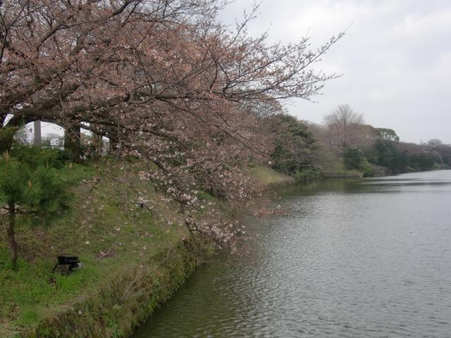 100320大濠公園桜スケッチ 051