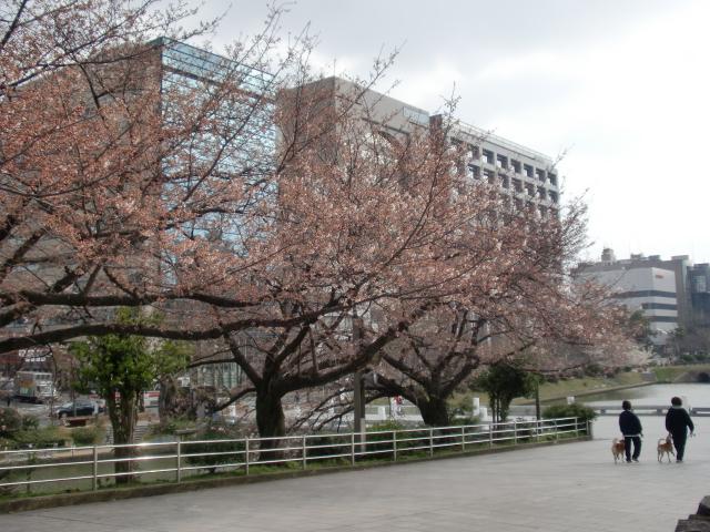 100320大濠公園桜スケッチ 050