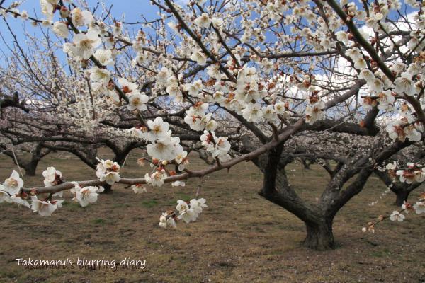 桜の準備、今年はどこに行こうか・・・