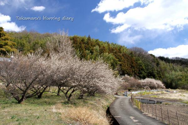 ある意味梅は偉い。綺麗に咲いて、いつの間にか散って実を残す。