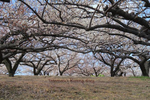 桜はもう少しお預けになりそう