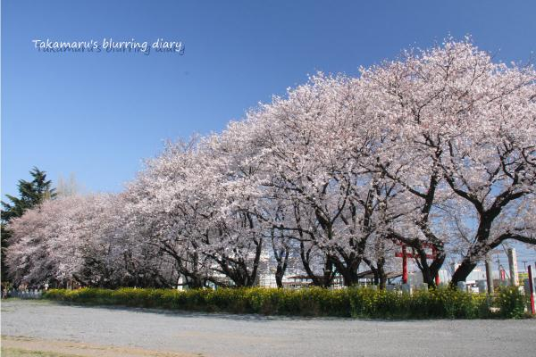 近所ではここの桜が一番絵になります。