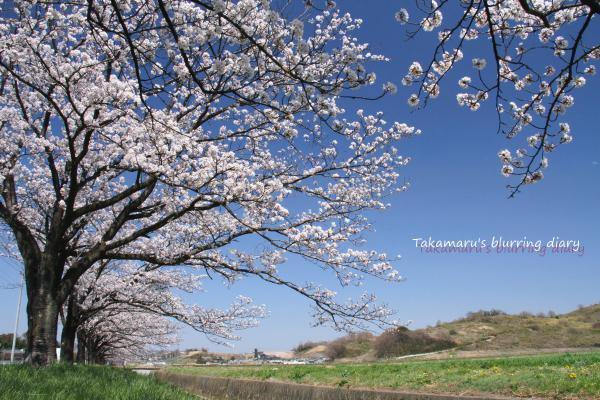 どっちかというと青空の桜の方が好きです