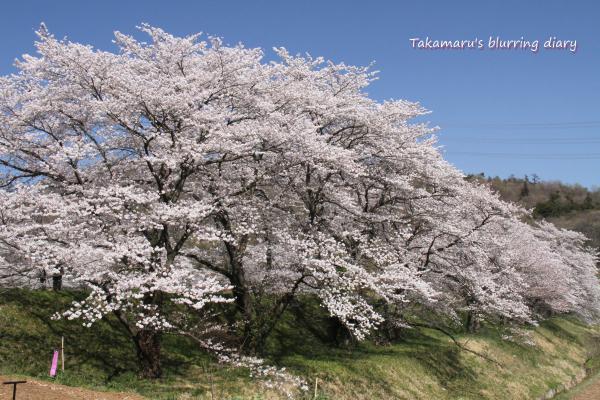 そろそろ桜も季節はずれ感が強くなりましたね