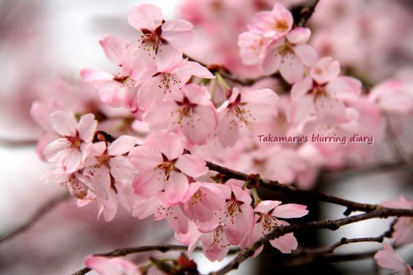 ここの桜は白とピンクが混ざっていてステキです