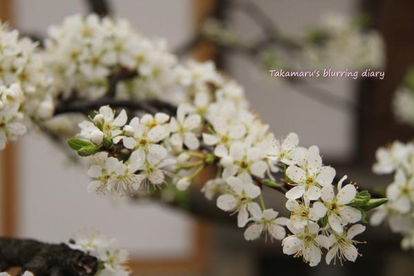 多分桜の一種・・・自身はないですが。