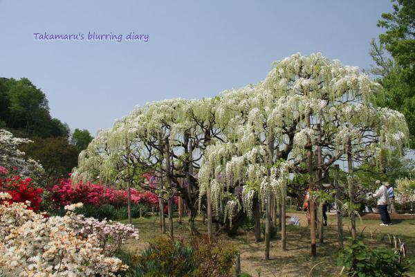 全体的に白藤は、まだ咲き始めといった感じでした。