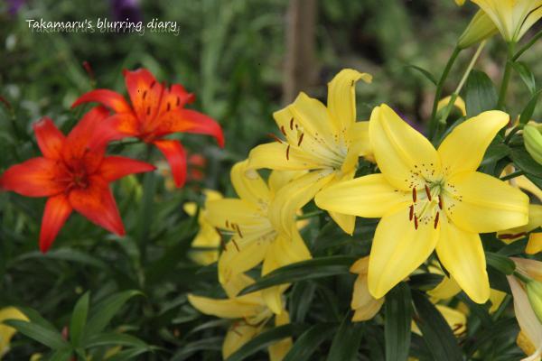 これはご近所さんのユリ、我が家のユリも咲き始めました